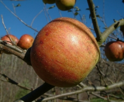 Ralls Janet Fruit
