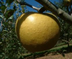 Razor Russet Fruit