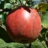 Red Limbertwig