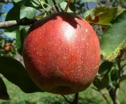 Red Limbertwig Fruit
