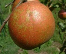 Reverend Morgan Fruit