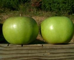 Rhode Island Greening Fruit