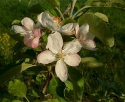 Ruby Limbertwig Bloom