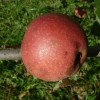Ruby Limbertwig Fruit