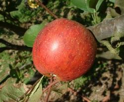 Shockley Fruit