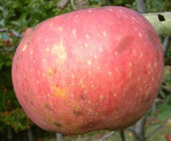 Smith Seedling Fruit