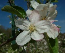 Summer Champion Bloom