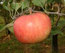 Summer Champion Fruit
