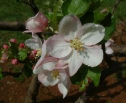 Summer Limbertwig Bloom