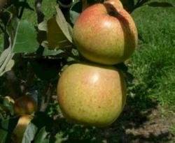 Sweet Coppin Fruit