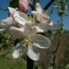Swiss Limbertwig Bloom