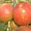 Swiss Limbertwig Fruit