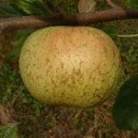 Tanyard Seedling