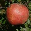 Tenderskin Fruit