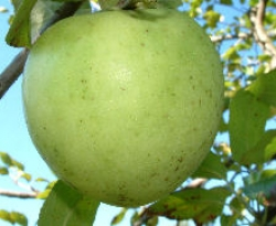 Virginia Greening Fruit