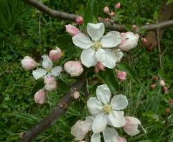 Virginia Sweet Bloom