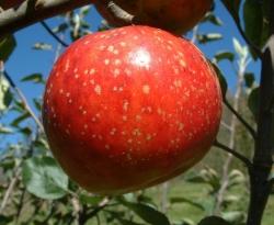 Virginia Sweet Fruit