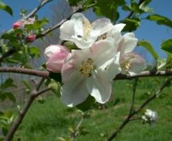 Western Beauty Bloom