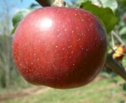 Winter Sweet Fruit