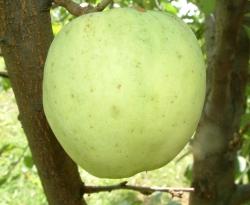 Yellow Bellflower Fruit