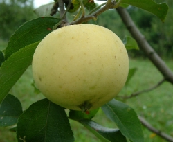 Yellow June Fruit