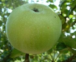 Bullet Fruit