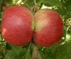 Foxwhelp Fruit