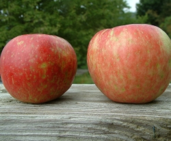 Honeycrisp Fruit