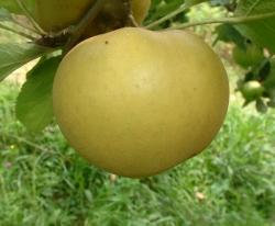 Roxbury Russet Fruit