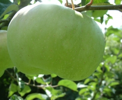White Bausel Fruit