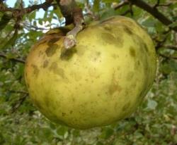 Calville Blanc Fruit