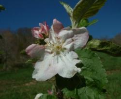 Catawba Bloom