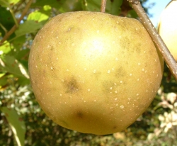 Golden Russet Fruit