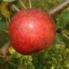 Haas Fruit