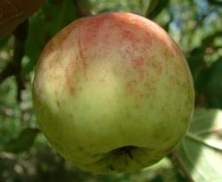 Husk Spice Fruit