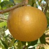 Keener Seedling Fruit