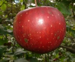 Magnum Bonum Fruit