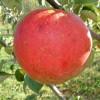 Abram Fruit