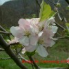Brushy Mountain Limbertwig Bloom