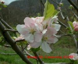 Brushy Mountain Limbertwig Bloom