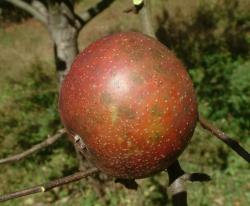 Brushy Mountain Limbertwig Fruit