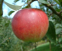 Winesap Fruit