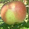 Flat Fallawater Fruit