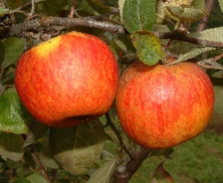 Stoke Red Fruit