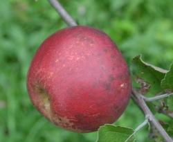 Ramsey Limbertwig Fruit