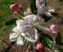 Ramsey Limbertwig Bloom