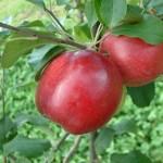 Carolina-Red-June