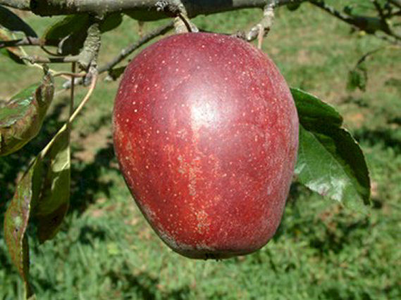 juicy red apple dating site