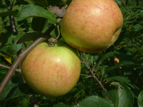 Early Season Apples At Big Horse Creek Farm Page 4