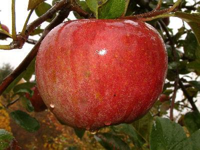Late Season Apples At Big Horse Creek Farm Page 11